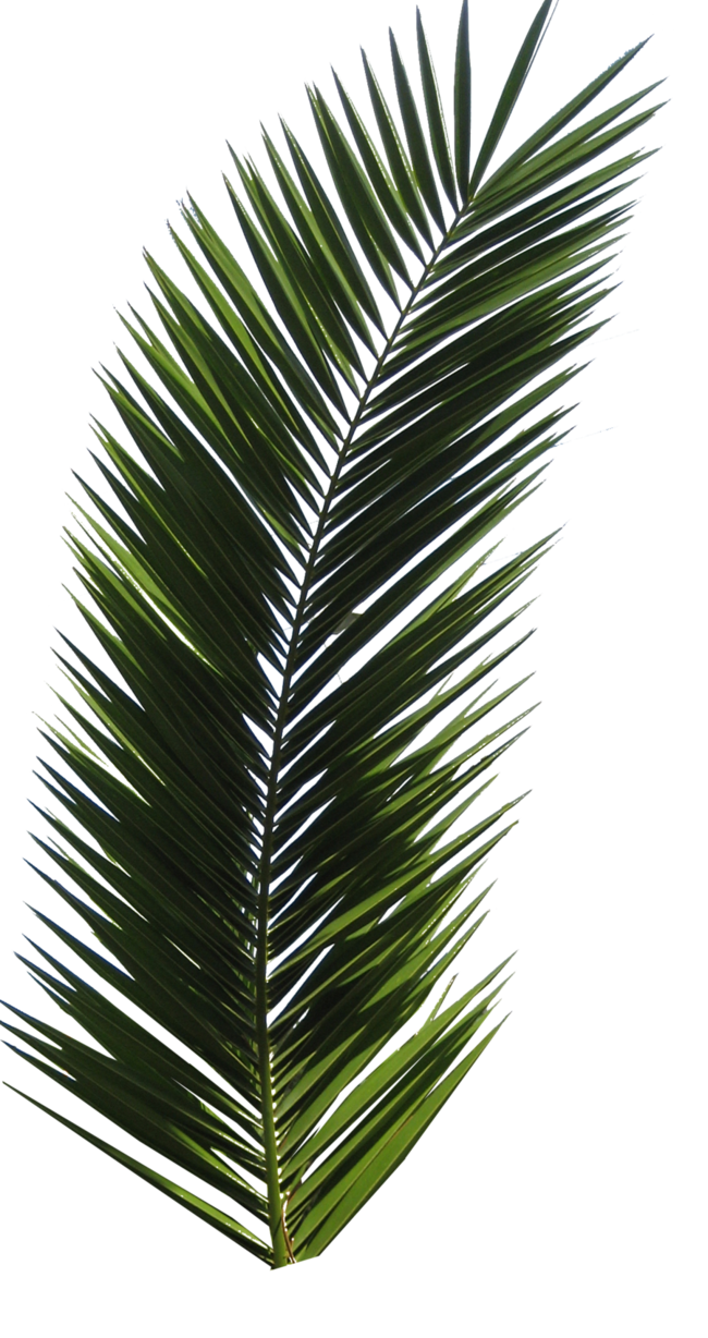 Palm tree leaf png. Tube stock vi by