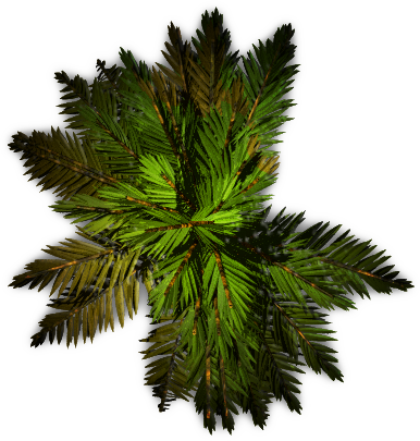 Pine Tree Top View Png - Cat's Blog