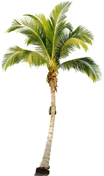 Transparent images pluspng tropical. Palm tree png free banner transparent