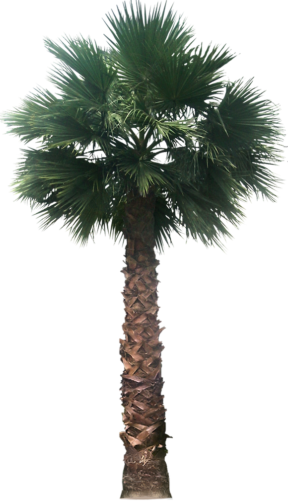Dead palm tree png. Free images washingtoniafil