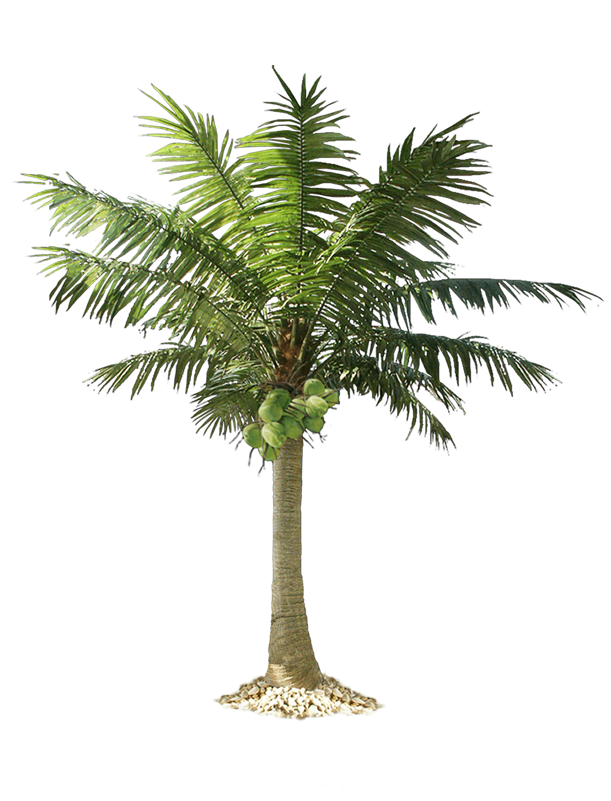 Tropical palm tree png. Transparent images pluspng image