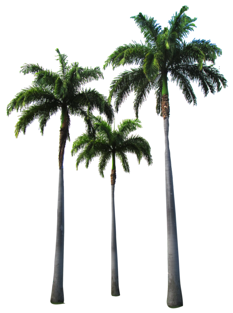 Palm trees png. By owhl stock on