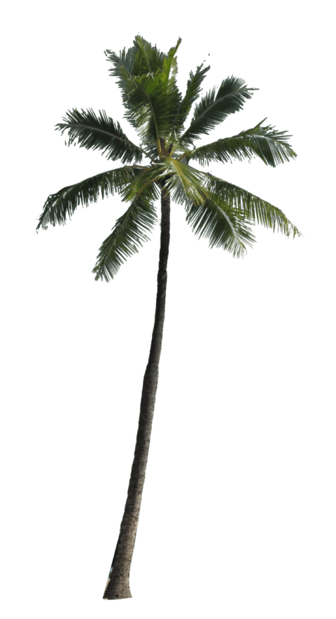 Palm tree png images. Free toppng transparent