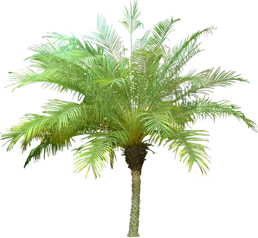 Palm tree png render. Images for architecture