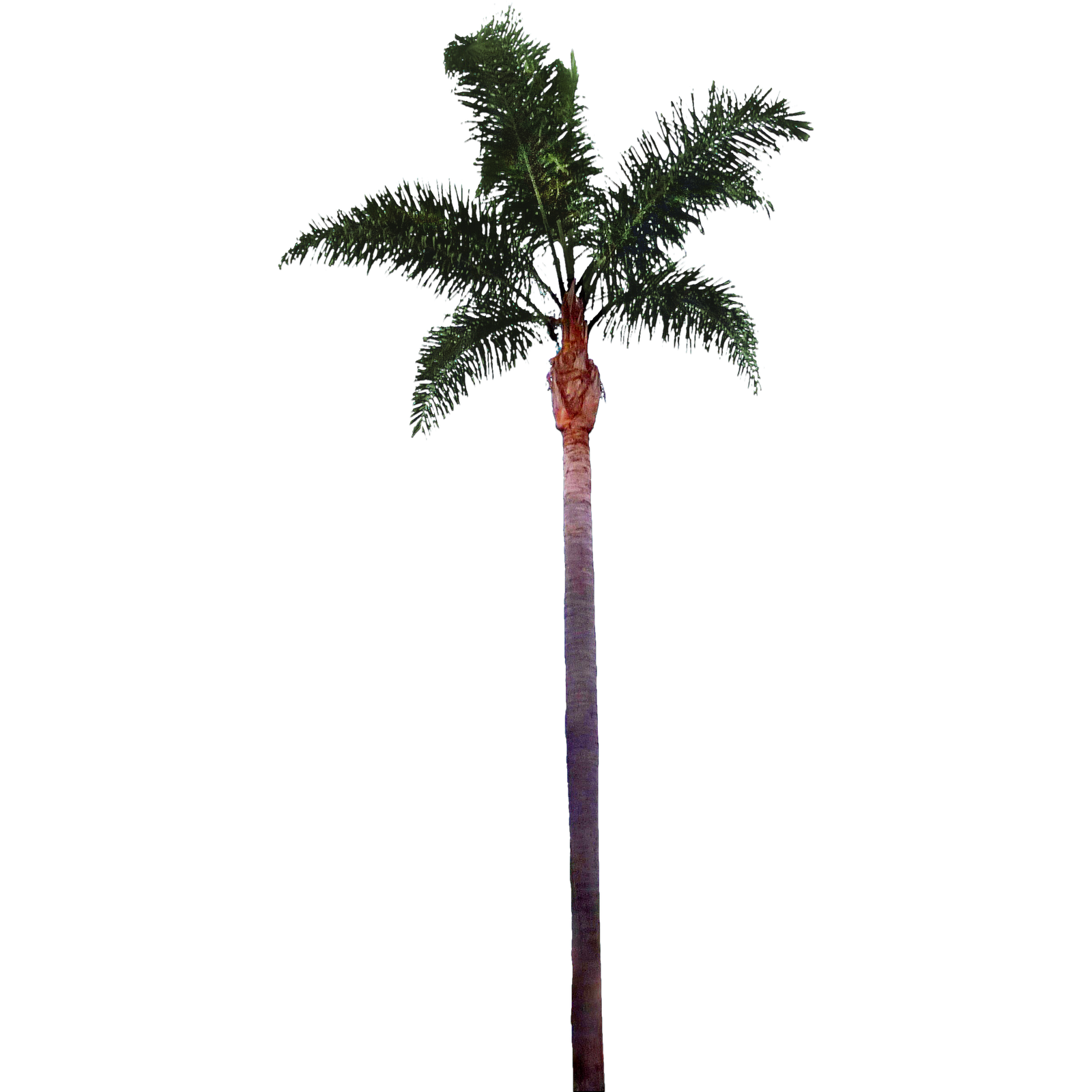 Palm tree png render. Cool tropical pinterest palmtreepng