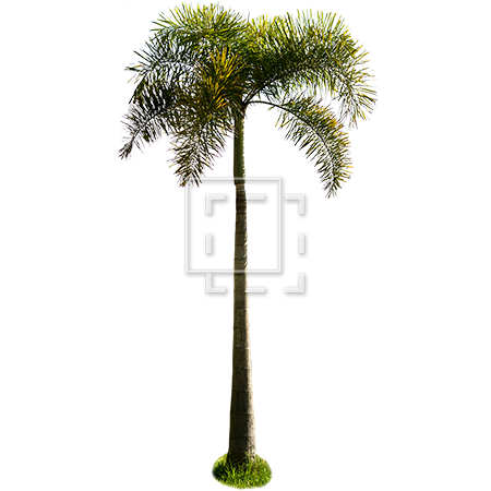 Palm tree png render. Small tropical parent category
