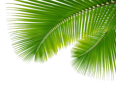 Palm trees png tumblr. Leaves transparentpngpalmleaves