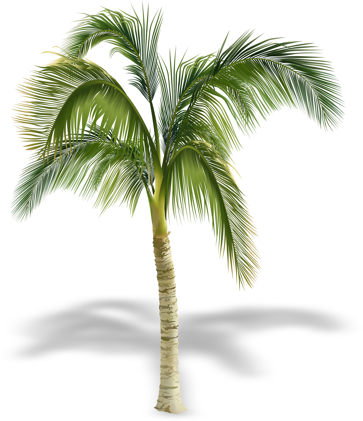 Palm tree shadow png. Arecaceae stock photography royalty