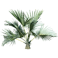 Palm tree top png. Download free photo images