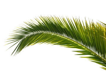 Palm tree top view png. Hd beach transparent images