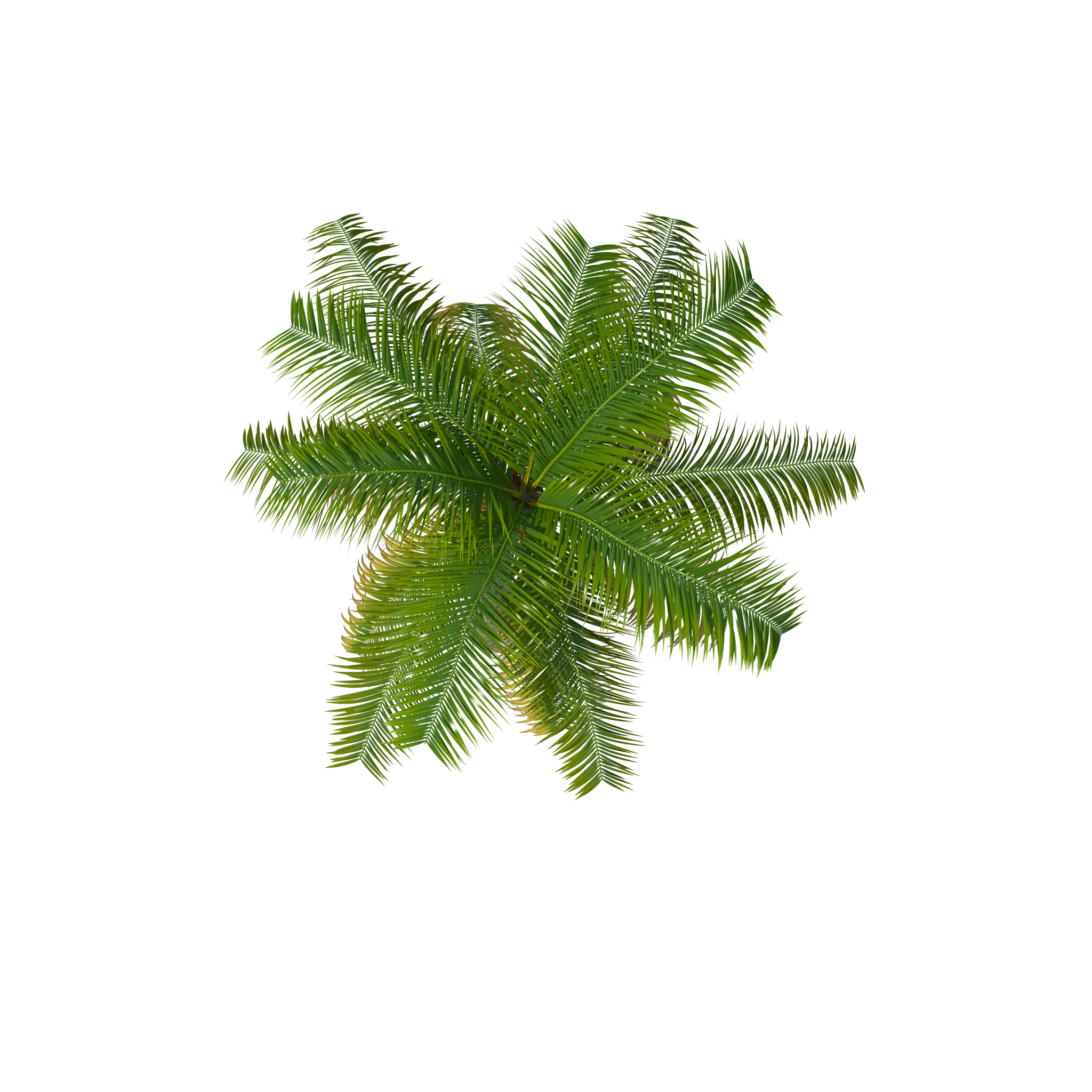 Palm tree top view png. Image purepng free transparent