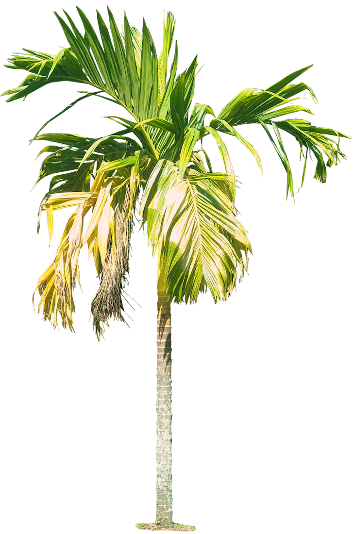 Palm tree watercolor png. Arecacatechuvarl cut out cambodian