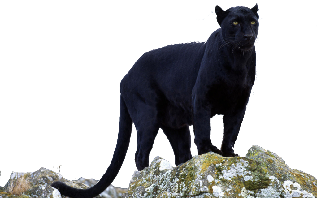 Drawing panther big cat. Png transparent free images