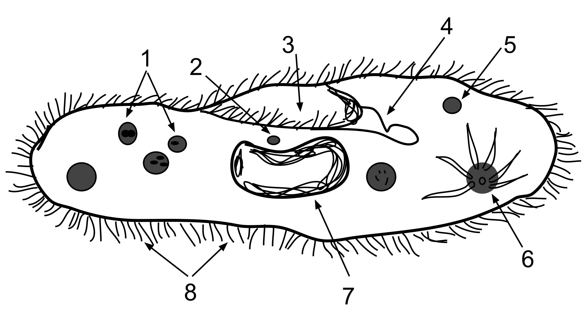 Paramecium drawing trichocysts. File anatomy svg wikimedia