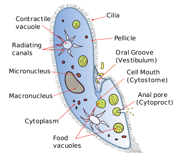 Paramecium drawing easy. Difference between amoeba and