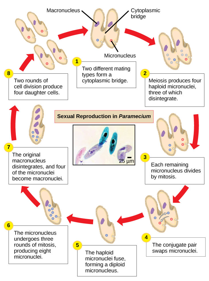 Paramecium drawing easy. Biology biological diversity protists