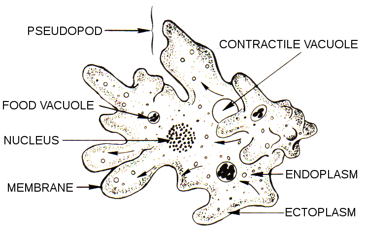 Paramecium drawing labeled. Difference between amoeba and