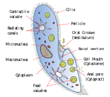 Paramecium drawing labeled. Cytostome revolvy