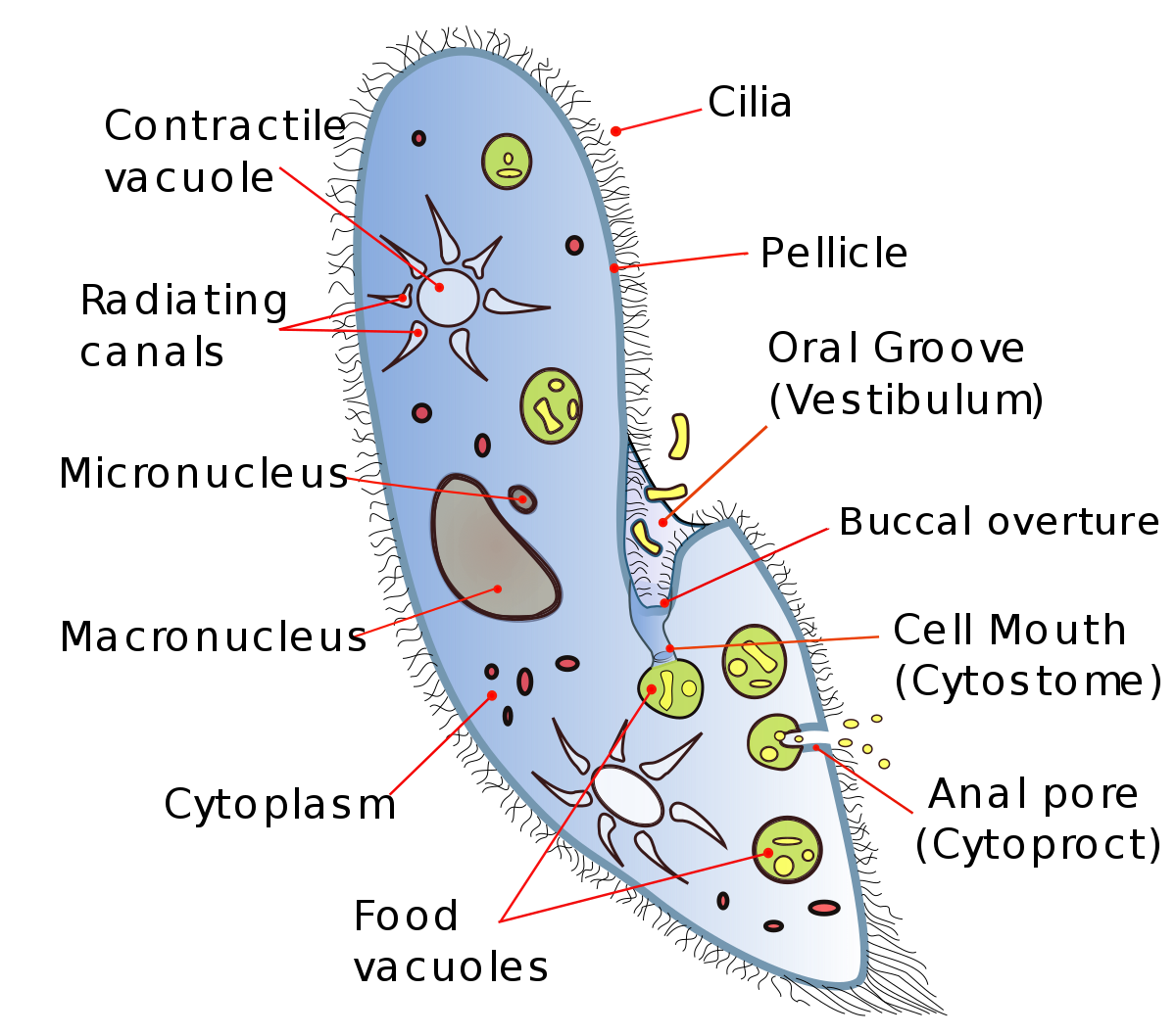 Paramecium drawing paramoecium. Cytostome wikipedia