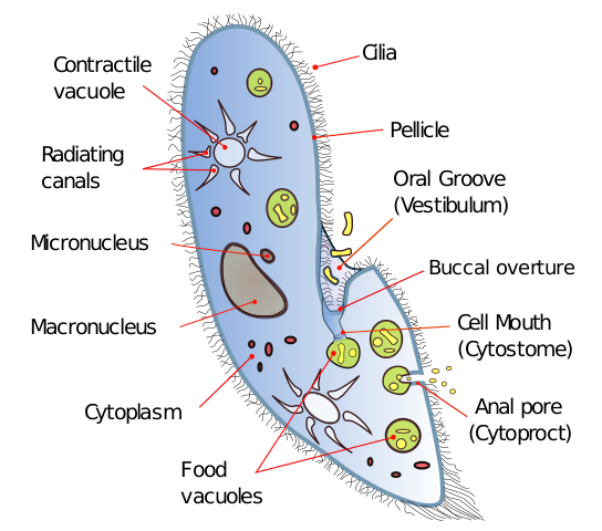 Paramecium drawing single celled organism. File diagram svg wikimedia