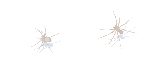 Spiders drawing brown recluse spider. Human skin parasites side