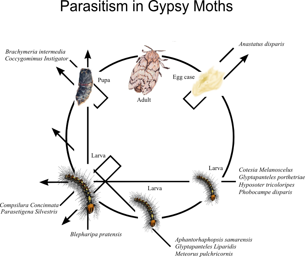Parasitism drawing diagram. File in gypsy moths