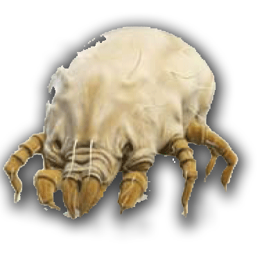 Parasitism drawing dust mite. Ways to eliminate