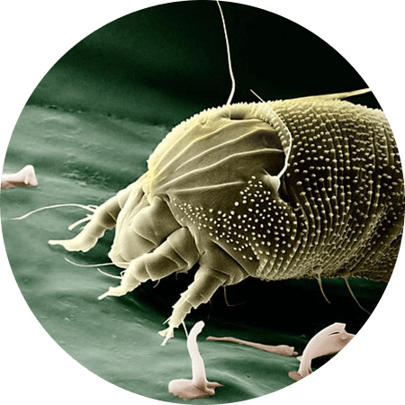 Parasitism drawing dust mite. Air purifiers for mites