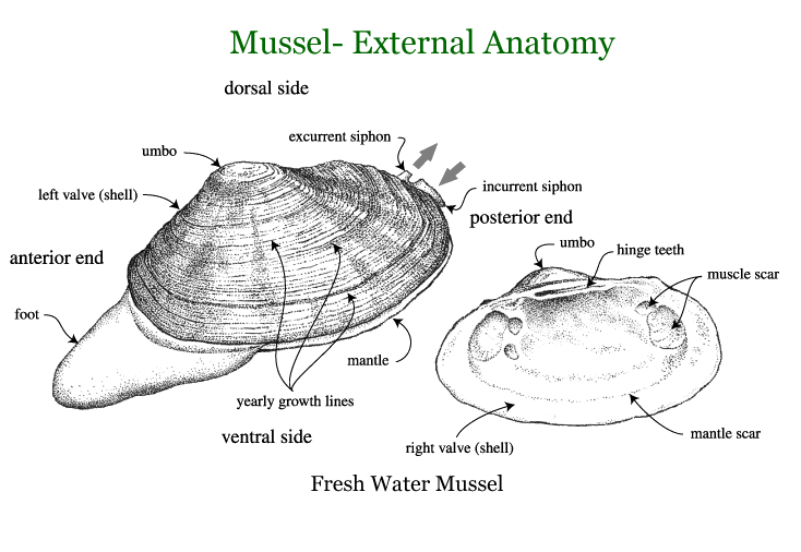 Parasitism drawing freshwater mussel. Mussels and clams office