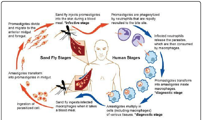Parasitism drawing life cycle fly. Leishmaniasis http www niaid
