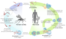Parasitism drawing life cycle fly. Leishmania major wikipedia