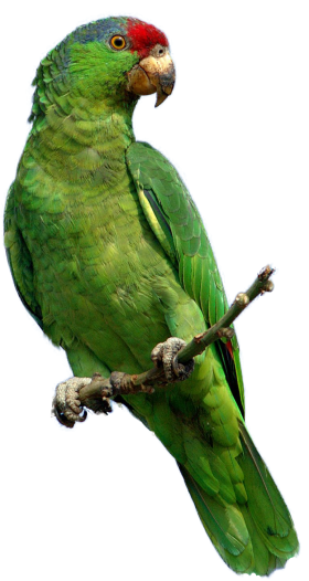Parrot png. Green images free download