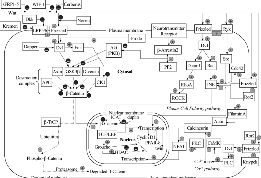 Schematic of wnt related. Pathway drawing picture free download