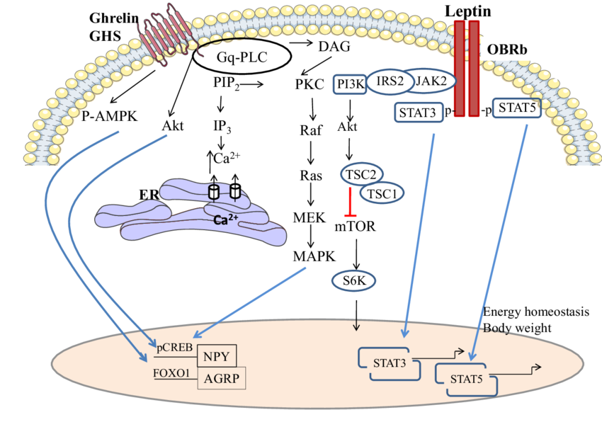 Pathway drawing. A schematic of the