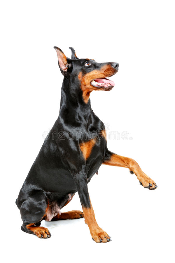 Paws clipart doberman. Sitting pinscher giving his banner transparent stock