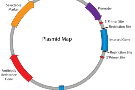 Pcdna3 vector png. Map a plasmid path