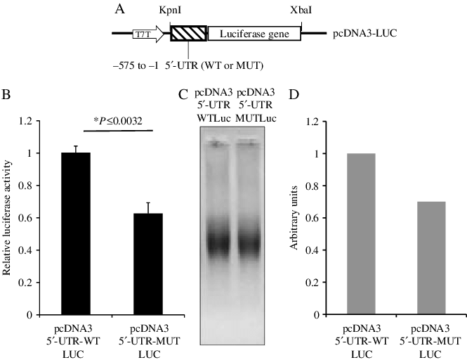 Pcdna3 vector sequence. Coupled transcription translation analysis