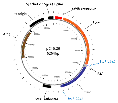 Addgene map image for. Pci vector cloning vector royalty free library