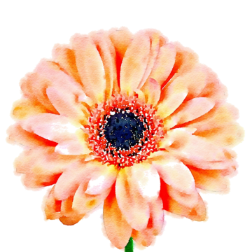 Peach flower png. Vectors psd and clipart