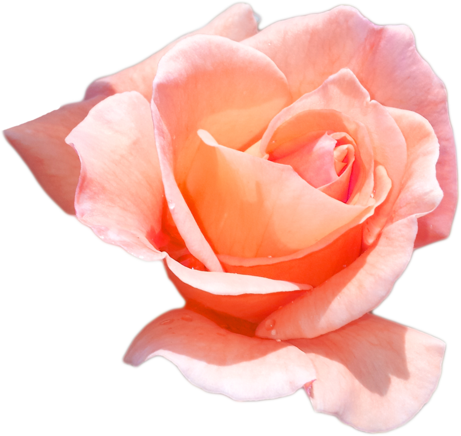 Peach flowers png. Rose by pandymonium on