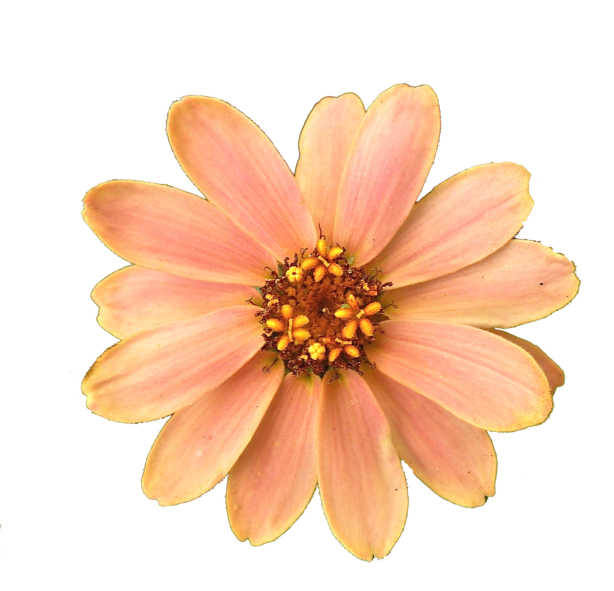 Peach flower png. Transparent pictures free icons