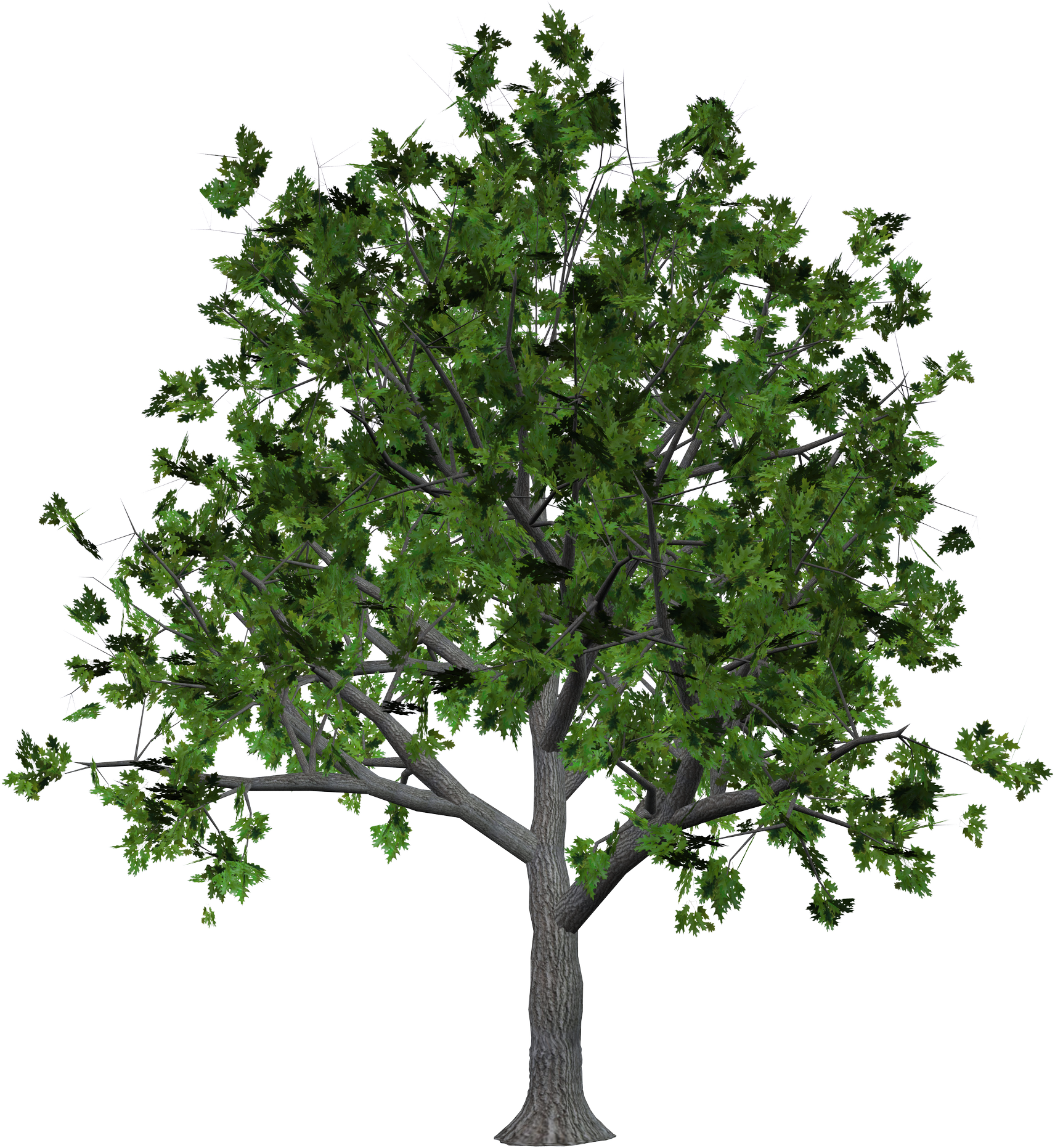 Big trees png. Tree thirty nine isolated