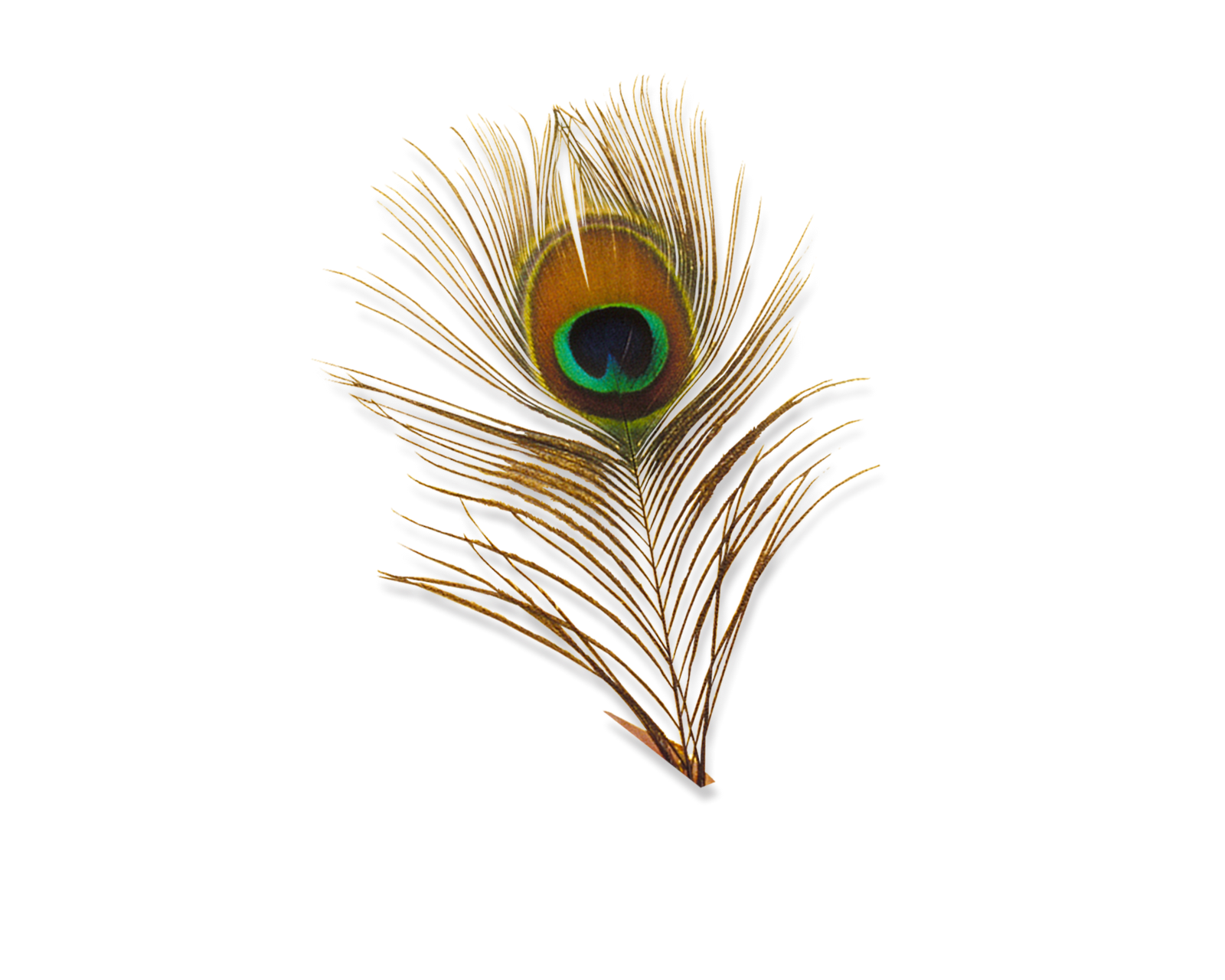 Jpg to png in photoshop. Peacock feather transparent images