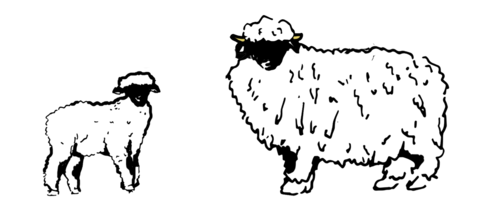 Pearl clipart sheel. Meet the valais blacknose