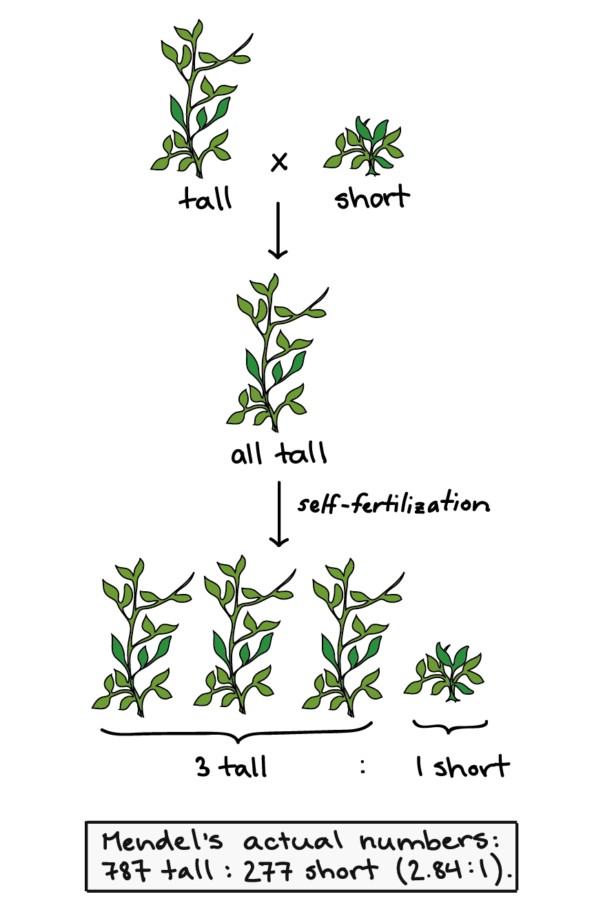 Classical and molecular genetics. Peas drawing study royalty free download