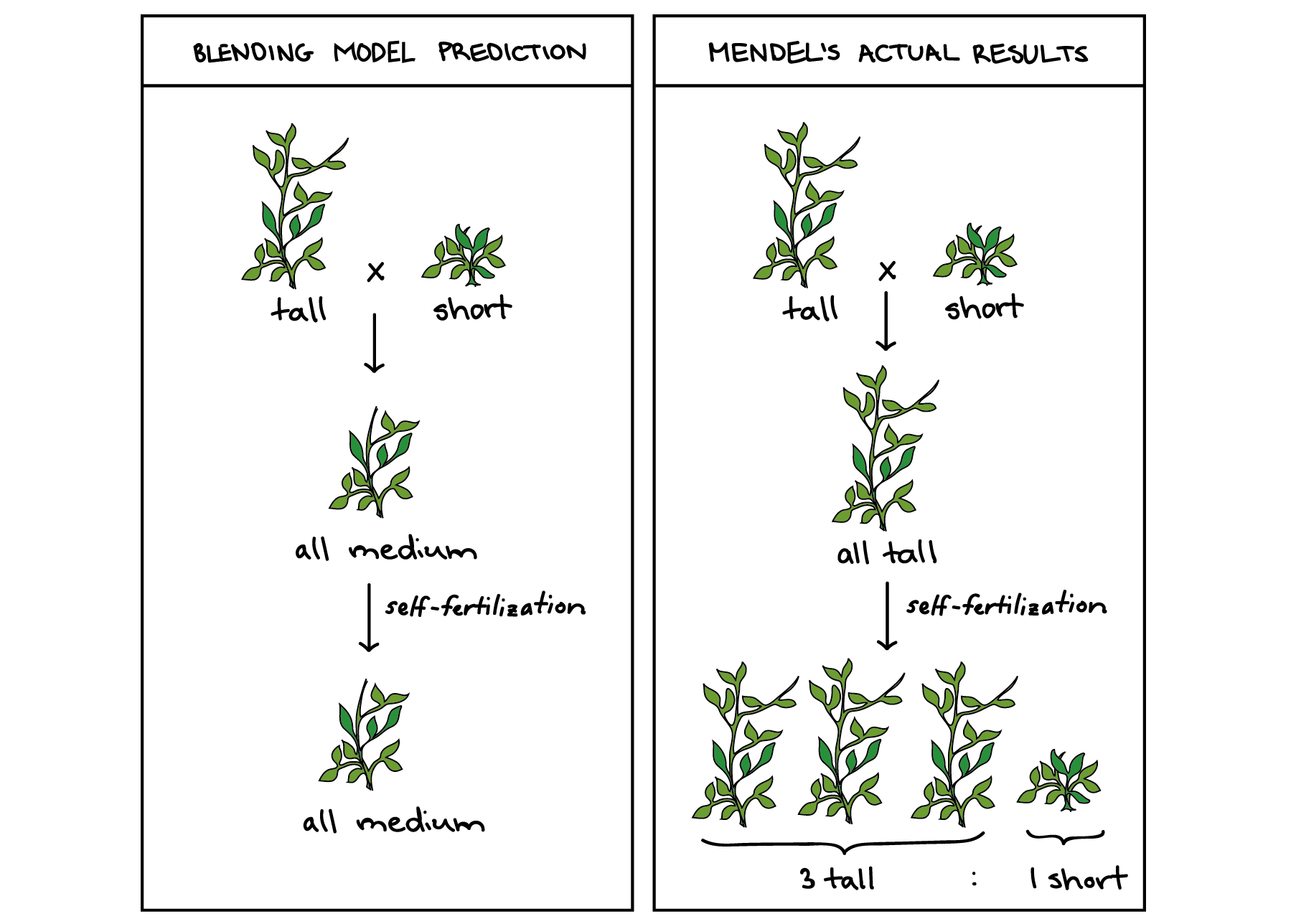 Classical and molecular genetics. Peas drawing study png black and white