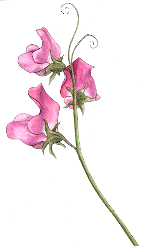 Peas drawing watercolor. Sweet pea helen krayenhoff