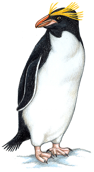 Penguins appendix species overviews. Penguin clip art royal penguin picture library library