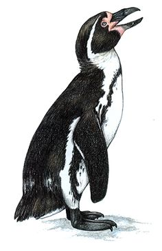 Penguin clipart humboldt penguin. Magellanic penguins a species