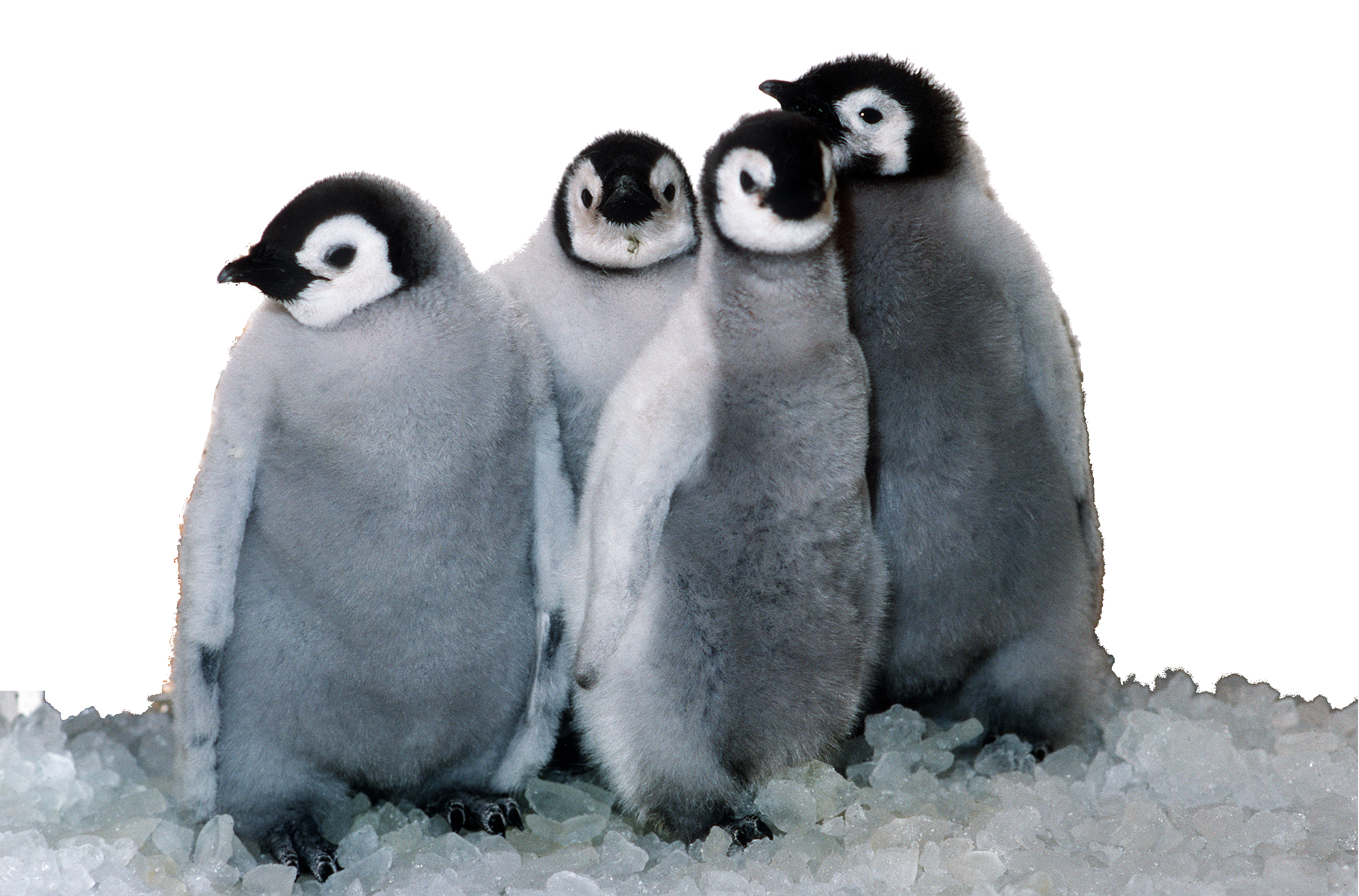 Penguin png. Transparent pictures free icons